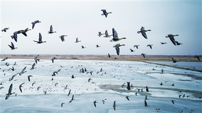迁徙的候鸟 春日里的飞翔