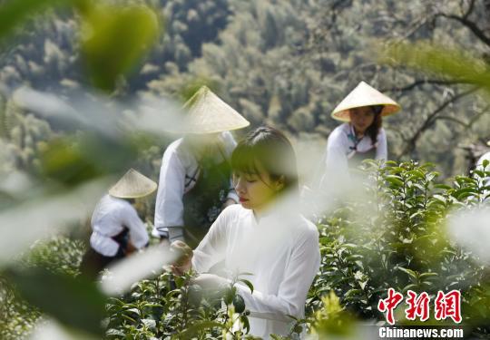 安徽休宁:百年松萝茶喜开园
