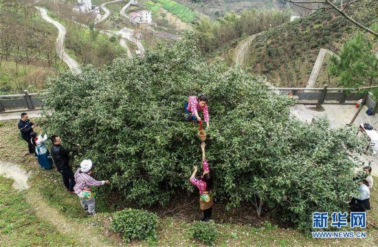 (社会)(1)浙江杭州:800年古茶树开摘