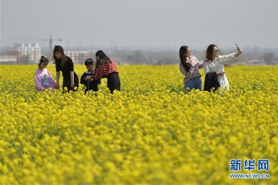 (春季美丽生态)(3)河北沙河:油菜花开 乐享春光
