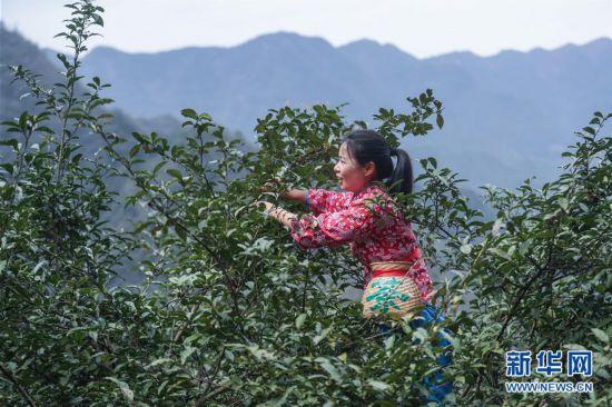 (社会)(4)浙江杭州:800年古茶树开摘