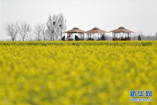 (春季美丽生态)(4)河北沙河:油菜花开 乐享春光