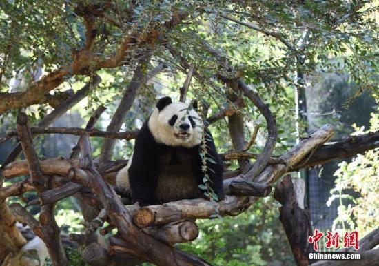 """旅美大熊貓母子""""白云""""和""""小禮物""""將返回中國"""