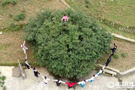 杭州:800多岁古茶树开摘