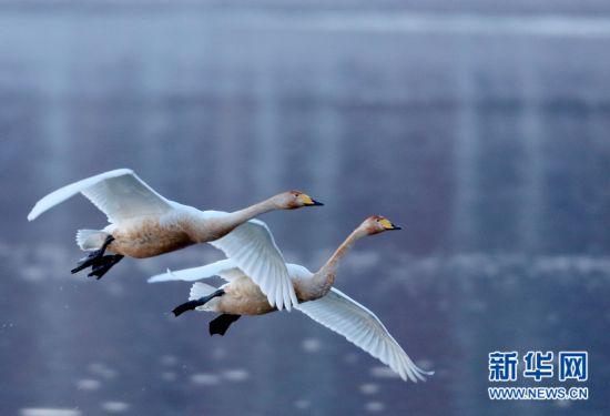 辽宁朝阳:白天鹅飞临白石水库
