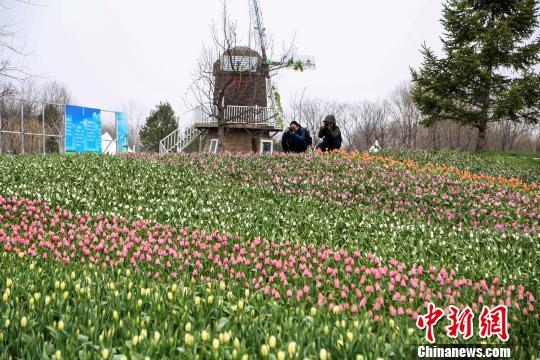第十届北京郁金香文化节将于4月5日在北京国际鲜花港开幕