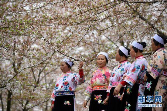 (环境)(1)樱花如雪春正好