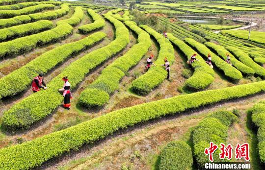 福建连江:产茶重镇 畲族村民采茶忙