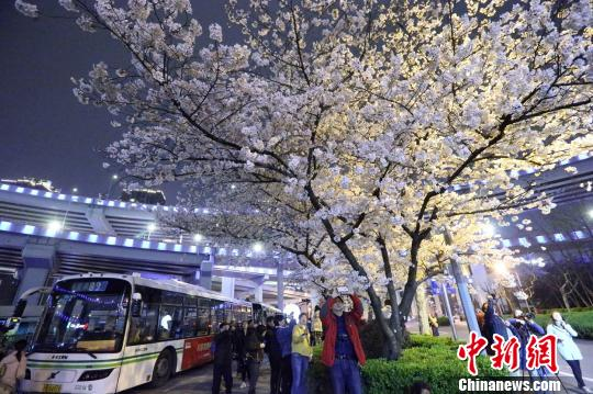 """樱花烂漫掩映上海""""最美公交车站""""民众扎堆拍摄如画美景"""
