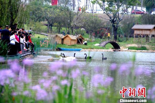 福建漳州南湖:黑白天鹅成一道亮丽风景线