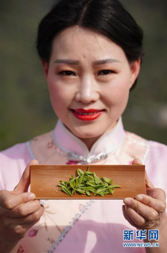 (社会)(3)陕西紫阳:春日茶山迎客来