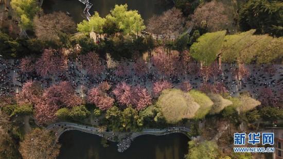 (春季美丽生态)(5)樱花烂漫 游人如织