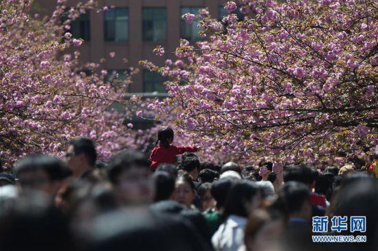(春季美丽生态)(7)樱花烂漫 游人如织