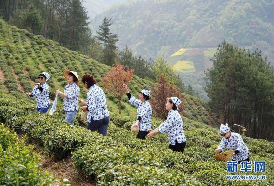 (社会)(5)陕西紫阳:春日茶山迎客来