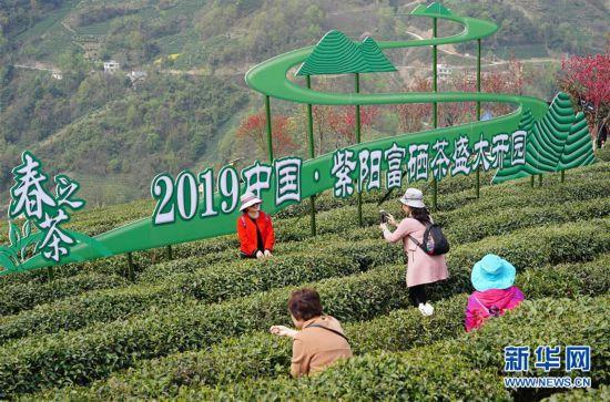 (社会)(6)陕西紫阳:春日茶山迎客来