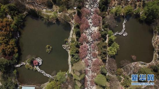 (春季美丽生态)(3)樱花烂漫 游人如织