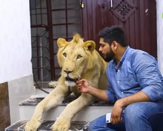 与狮同行!巴基斯坦兄弟饲养雄狮带其驾车出游