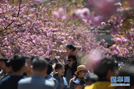 (春季美丽生态)(8)樱花烂漫 游人如织
