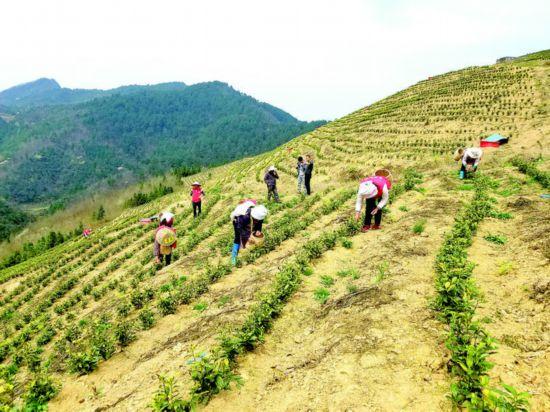 丹寨县岩英村:白茶种植助群众稳定脱贫