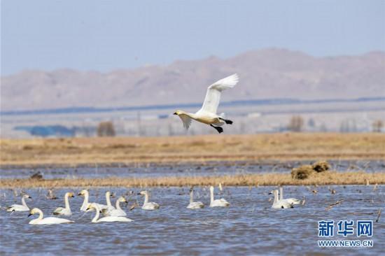 黄河浅滩迎天鹅