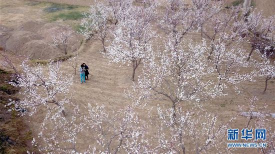 (春季美麗生態)(5)隴上杏花開