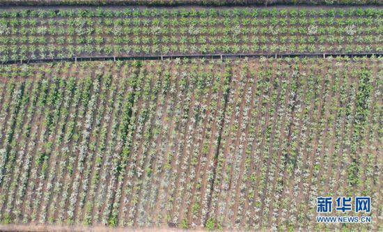 (春季美丽生态)(1)河南方城:万亩黄金梨花开