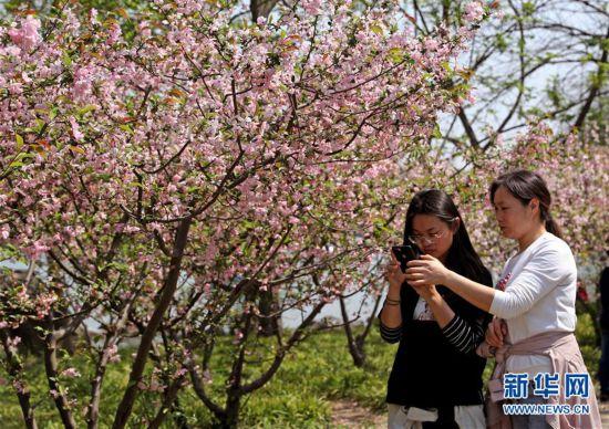 (环境)(3)上海:春光明媚 海棠花开