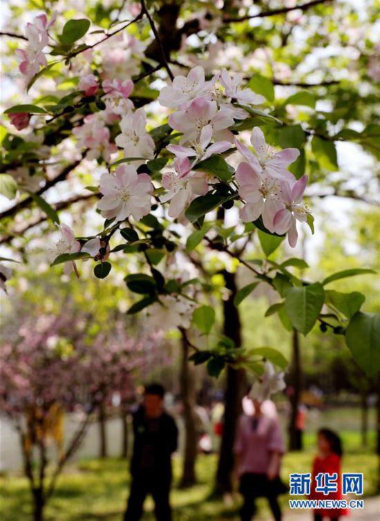(环境)(2)上海:春光明媚 海棠花开