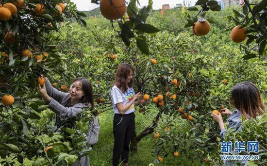 #(经济)(1)湖北秭归:脐橙花果飘香引客来