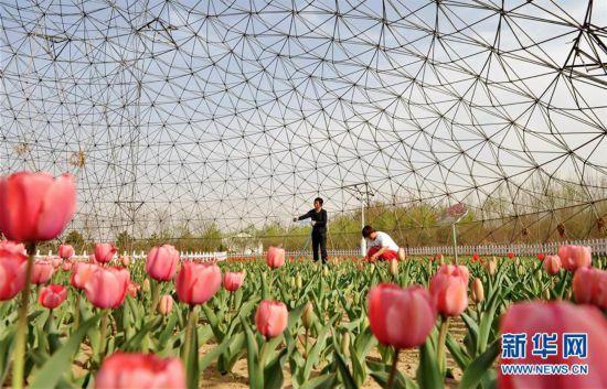 (经济)(1)河北肃宁:特色种植助农增收