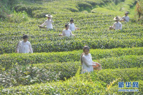 采茶体验游