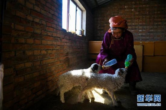 (社会)(1)呼伦贝尔:牧民喜接春羔