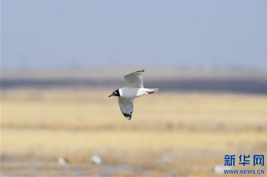 (环境)(3)大批遗鸥重返鄂尔多斯湿地