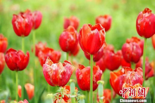 安徽合肥植物园春季花展数十万株郁金香怒放