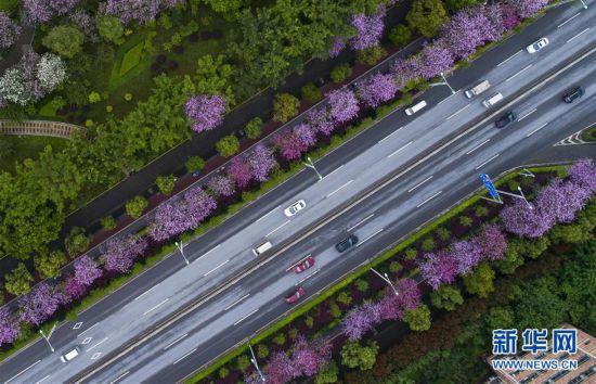 (春季美丽生态)(1)广西柳州:雨后洋紫荆别样美