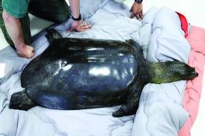 中国最后一只雌斑鳖在苏州去世 全球仅剩3只斑鳖