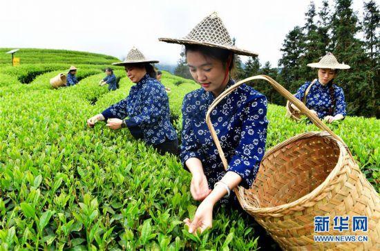 (社会)(5)武夷山:生态茶园 祭茶喊山