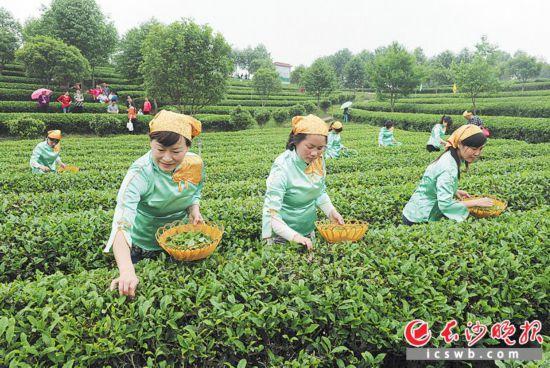 美麗鄉村建設示范片區長沙縣金井鎮的茶園裡,市民和游客跟隨茶藝師採摘茶葉。     均為長沙晚報全媒體記者 鄒麟 攝
