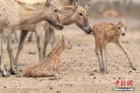 江苏大丰:野生麋鹿进入产仔高峰期