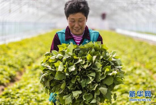 (經濟)(2)河北武邑:薯秧育苗富農家