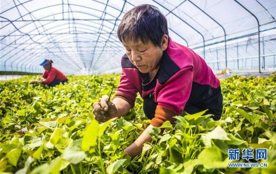 (經濟)(1)河北武邑:薯秧育苗富農家