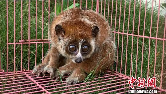 云南文山:警民联合救助濒危保护动物倭蜂猴