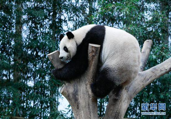 """(国际)(1)旅韩大熊猫""""爱宝""""""""乐宝""""来韩三周年"""
