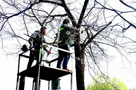 淮安市淮安区修剪主要道路树木保障出行安全