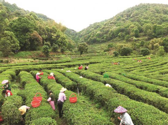 惠东:小山村做大茶文章