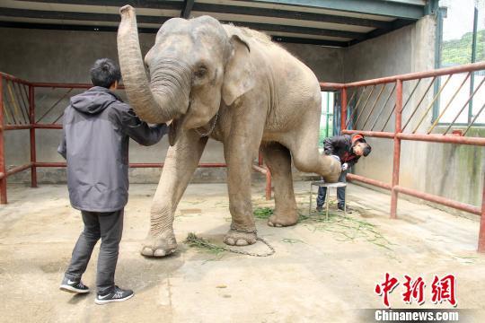 """无锡动物园大象成""""待嫁新娘"""" 园方为其""""美甲"""""""