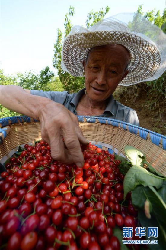 (经济)(1)大方樱桃熟了