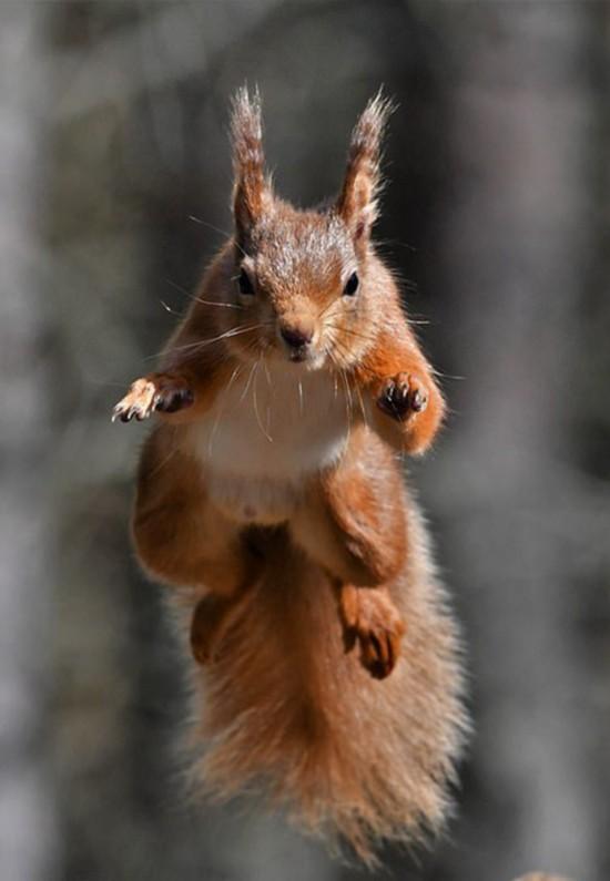 摄影师拍摄松鼠为拿食物空中飞翔似 超人