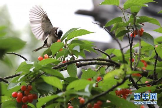 江苏:暮春鸟欢