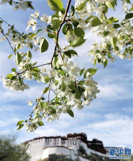 (环境)(2)拉萨鲜花盛开